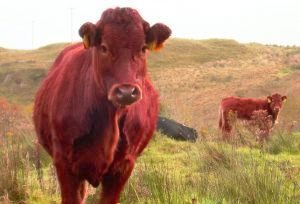 red-cow-300x204.jpg
